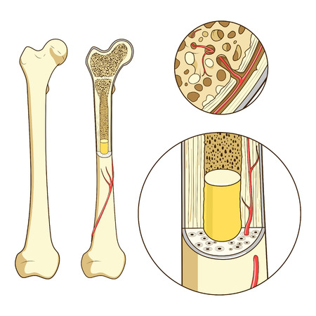 capillaries: Bone structure medical educational science vector illustration. Bone anatomy