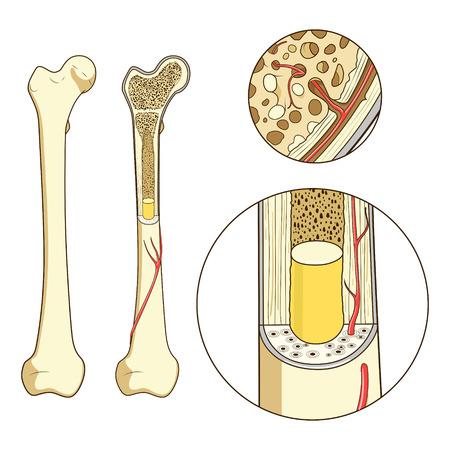 Botstructuur medische onderwijskunde vector illustratie. Bot anatomie Stock Illustratie