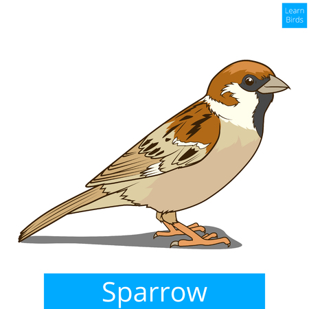 migrating: Sparrow  learn birds educational game vector illustration Illustration