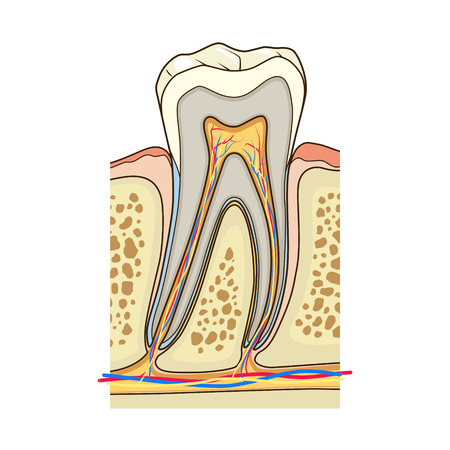 dental pulp: Human tooth structure medical science educational vector illustration