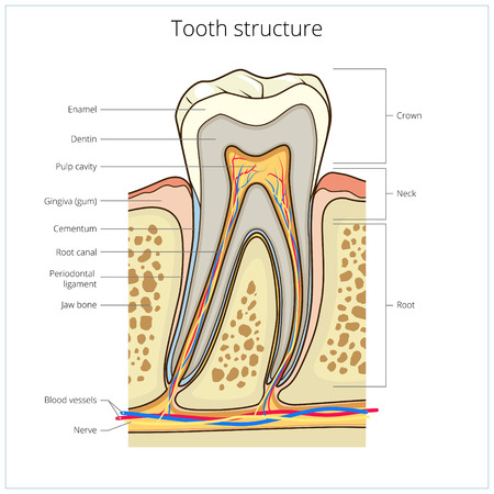 root canal: Human tooth structure medical science educational vector illustration