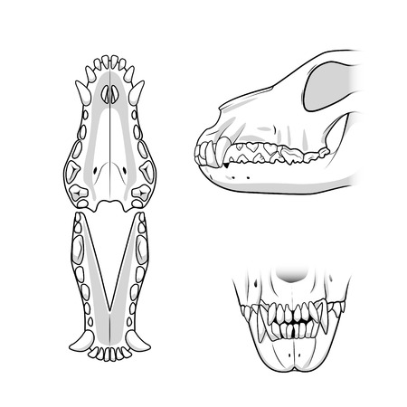 animals x ray: Veterinary educational science vector illustration teeth of the dog. Veterinary medicine educational material