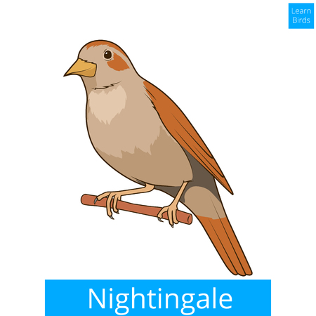 ruiseñor: Nightingale aprender educativa pájaros ilustración juego vector Vectores