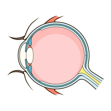 Menselijk structuur regeling oog medische illustratie. Educatief materiaal