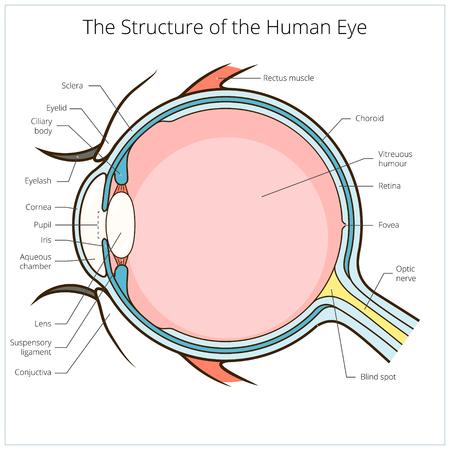 ojo humano: Ojo humano esquema de estructura ilustración vectorial médica. Material educativo Vectores