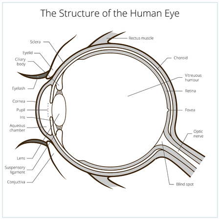 optic nerve: Human eye structure scheme medical vector illustration. Educational material