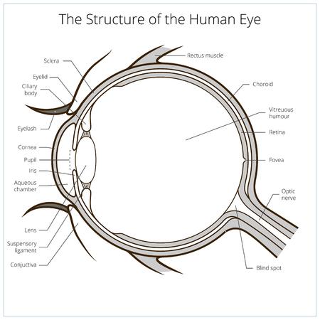Ojo humano esquema de estructura ilustración vectorial médica. Material educativo