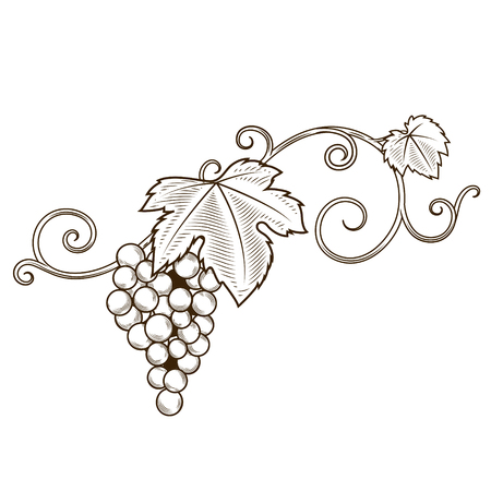 bunch of grapes: Grape branches ornament illustration