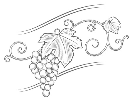 winemaking: Grape branches ornament illustration