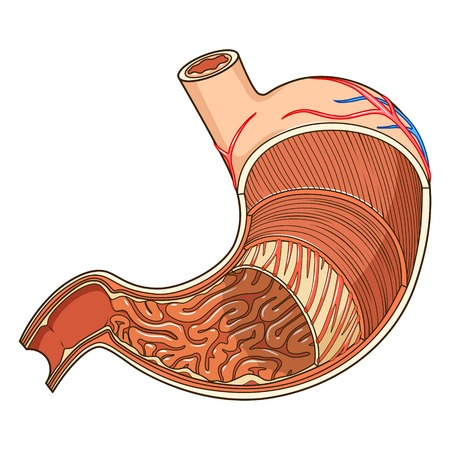 sphincter: Structure of stomach medical educational vector illustration. Medicine science
