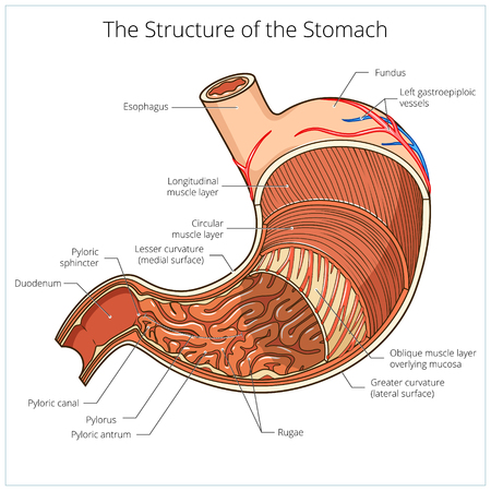 Diagram Of Sphincter And Stomach - Library Of Wiring Diagram •