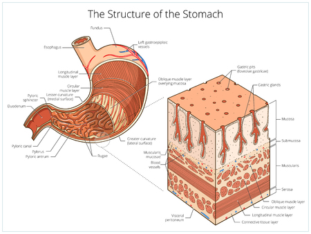 Structure of stomach medical educational vector illustration. Medicine science