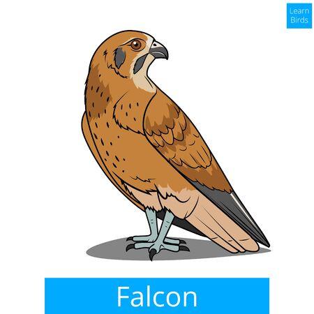 game bird: Falcon bird learn birds educational game illustration