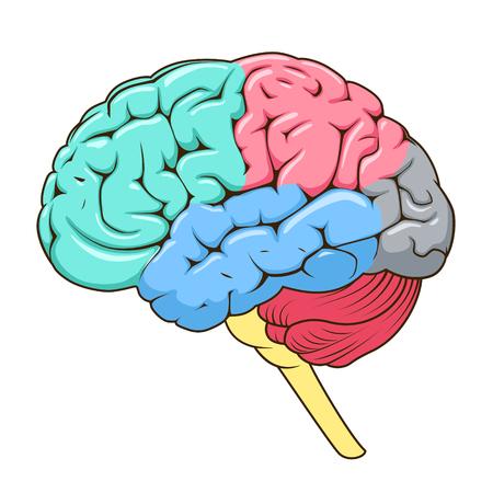 인간의 뇌 개략적 인 벡터 일러스트 레이 션의 구조. 의료 과학 교육 그림