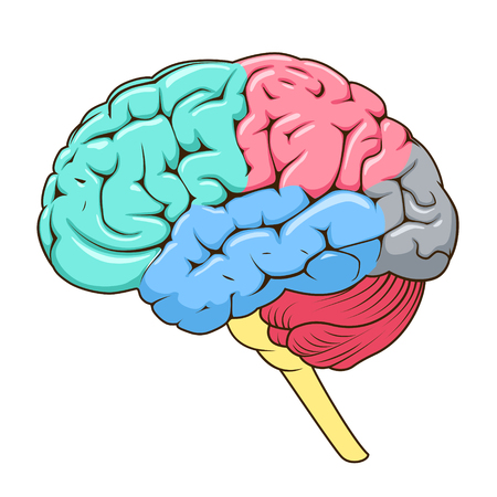 frontal lobe: Structure of human brain schematic vector illustration. Medical science educational illustration