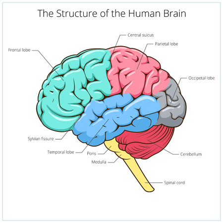 parietal: Structure of human brain schematic vector illustration. Medical science educational illustration