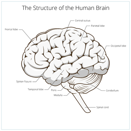 schematic: Structure of human brain schematic vector illustration. Medical science educational illustration