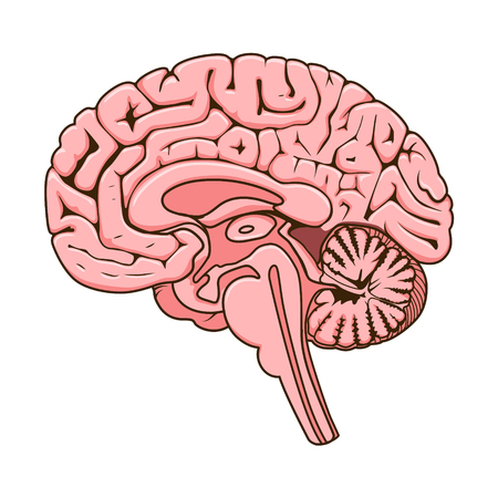 schematic: Structure of human brain section schematic vector illustration. Medical science educational illustration Illustration