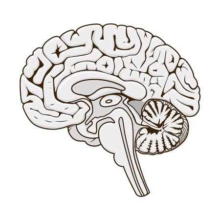 Structure de la section de cerveau humain vecteur schématique illustration. La science médicale illustration éducative