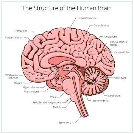 Estructura del cerebro humano sección esquemática ilustración vectorial. Ilustración educativa de ciencias médicas