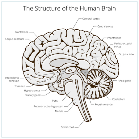Structure of human brain section schematic vector illustration. Medical science educational illustration Illustration
