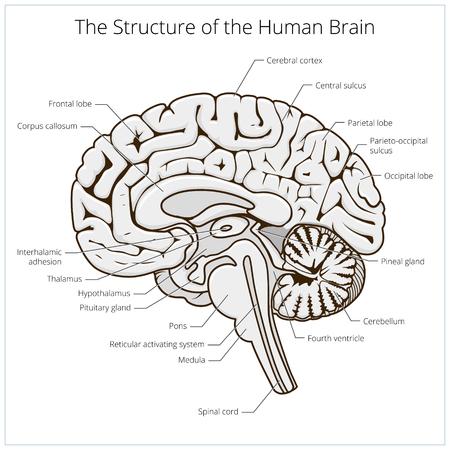 Szerkezet az emberi agy részén sematikus vektoros illusztráció. Az orvostudomány oktatási illusztráció
