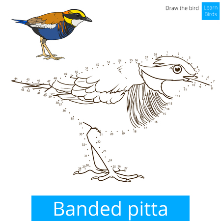 Banded Pitta Learn Birds Educational Game To Draw Vector Illustration