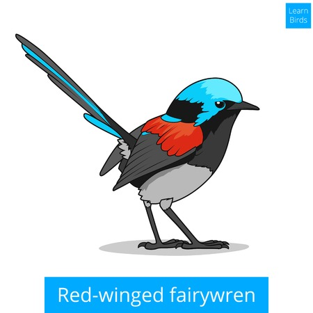 red winged: Red winged fairywren bird learn birds educational game vector illustration