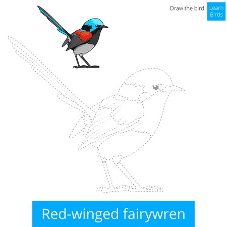 red winged: Red winged fairywren learn birds educational game learn to draw vector illustration