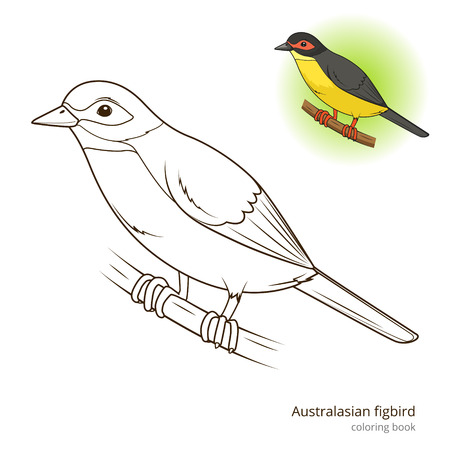 australasian: Australasian figbird bird learn birds educational game coloring book vector illustration