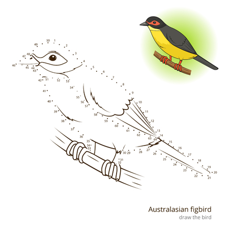australasian: Australasian figbird learn birds educational game learn to draw vector illustration