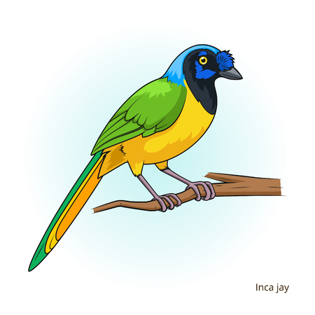 jay: Inca jay bird learn birds educational game illustration