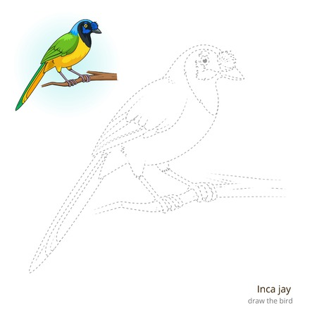 jay: Inca jay learn birds educational game learn to draw illustration