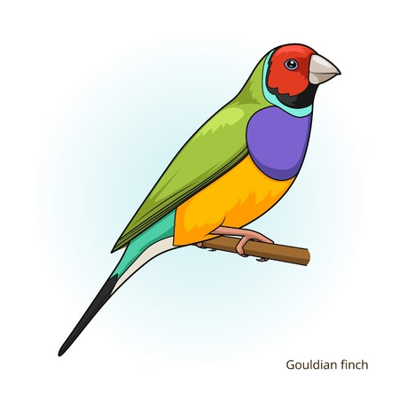 pets background: Gouldian finch bird learn birds educational game vector illustration
