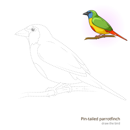 Pin tailed parrotfinch learn birds educational game learn to draw vector illustration Illustration