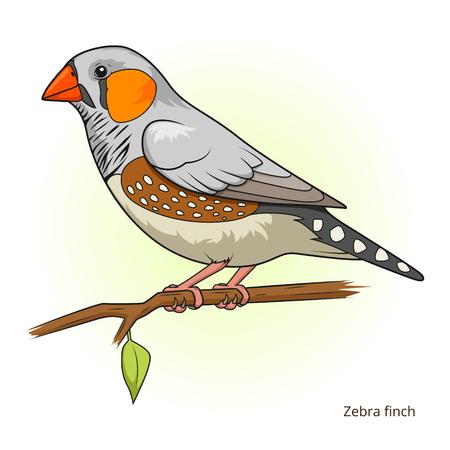 finch: Zebra finch bird learn birds educational game vector illustration