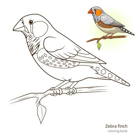 finch: Zebra finch bird learn birds educational game coloring book vector illustration