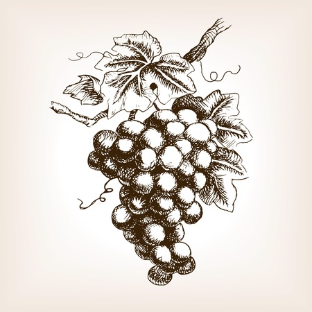 grapes on vine: Bunch of grapes  sketch style vector illustration. Old engraving imitation. Hand drawn sketch imitation