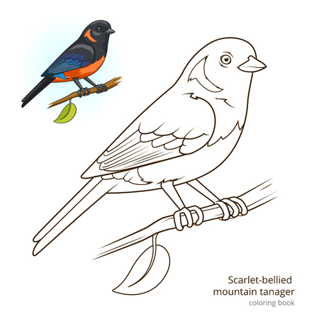 Scarlet bellied mountain tanager bird learn birds educational game coloring book vector illustration Illustration