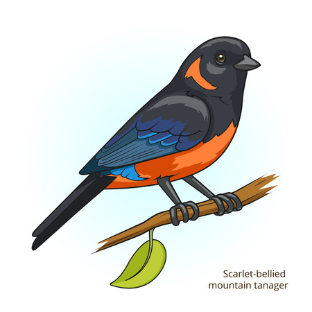 game bird: Scarlet bellied mountain tanager bird learn birds educational game vector illustration