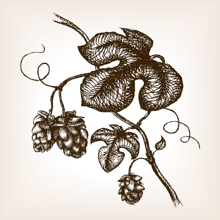 rough draft: Branch of hops  sketch style vector illustration. Old engraving imitation. Hand drawn sketch imitation