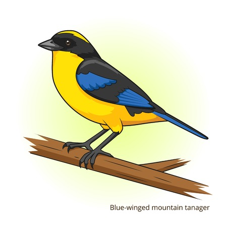 game bird: Blue winged mountain tanager bird learn birds educational game vector illustration Illustration