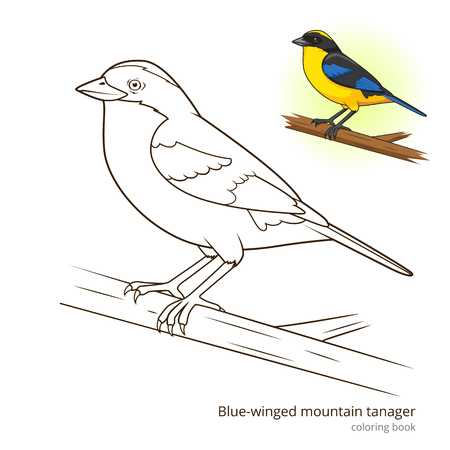 winged: Blue winged mountain tanager bird learn birds educational game coloring book vector illustration