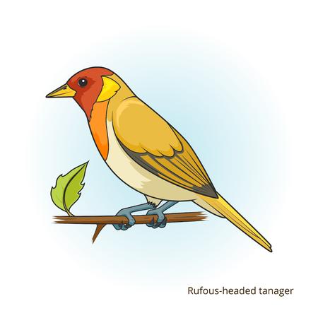 headed: Rufous headed tanager bird learn birds educational game vector illustration