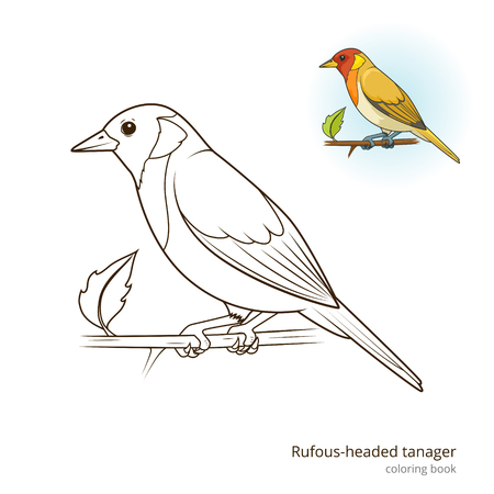 rufous: Rufous headed tanager bird learn birds educational game coloring book vector illustration Illustration