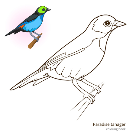 birds of paradise: Paradise tanager bird learn birds educational game coloring book vector illustration