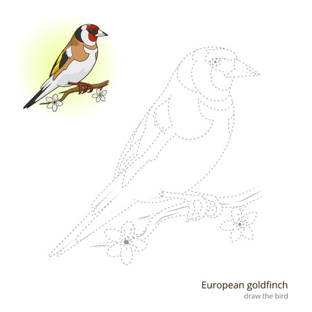 migrating: European goldfinch learn birds educational game learn to draw vector illustration Illustration