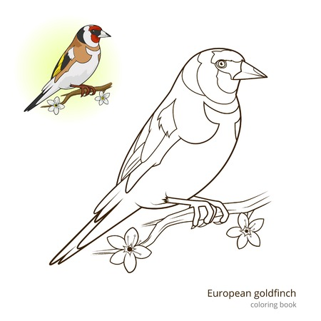 European goldfinch bird learn birds educational game coloring book vector illustration Illustration