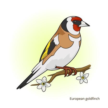 migrating: European goldfinch bird learn birds educational game vector illustration Illustration