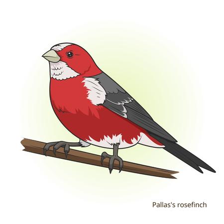 educational material: Pallas rosefinch bird learn birds educational game illustration